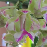 Aerides houlletiana Rchb.f.