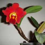 Rhyncholaeliocattleya Chief Jewel
