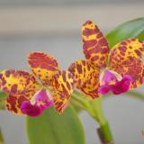 Cattleya Jungle Eyes