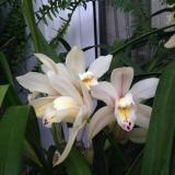 "Cymbidium Earlisue ""Paddy"""