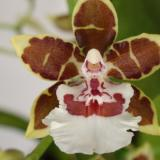 Oncidium Jungle Monarch