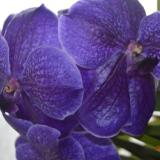 "Vanda Robert's Delight ""Blue Vax"""